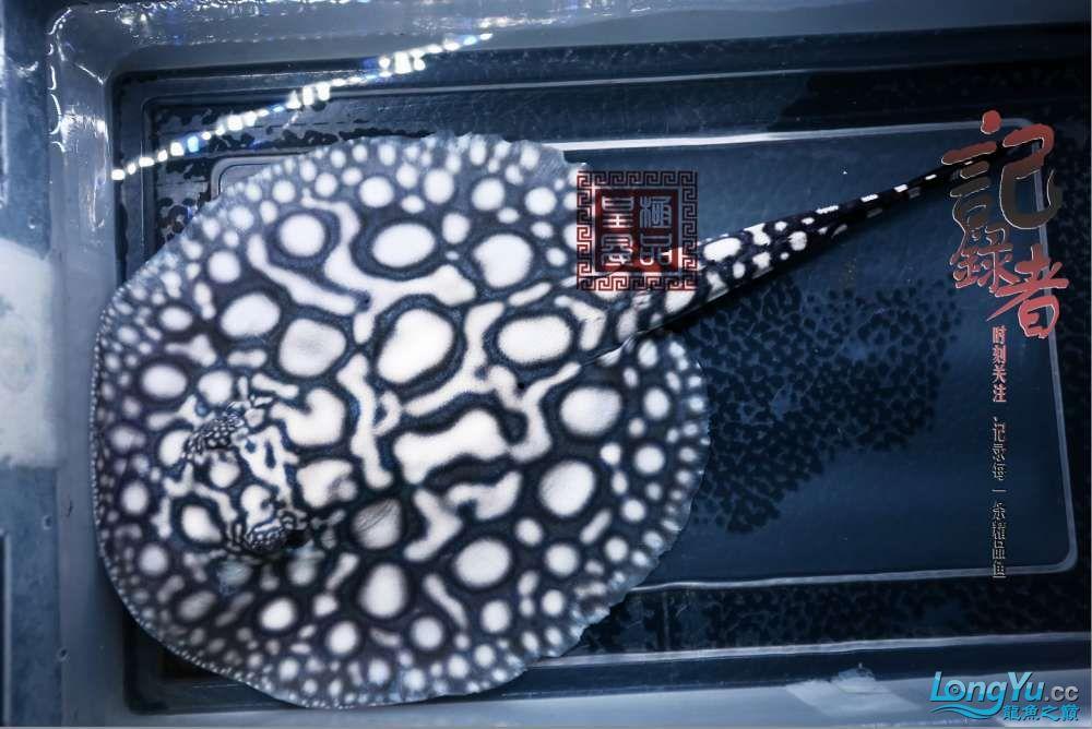 记录者 发掘极品皇冠母鱼 绵阳水族批发市场 绵阳水族批发市场第2张