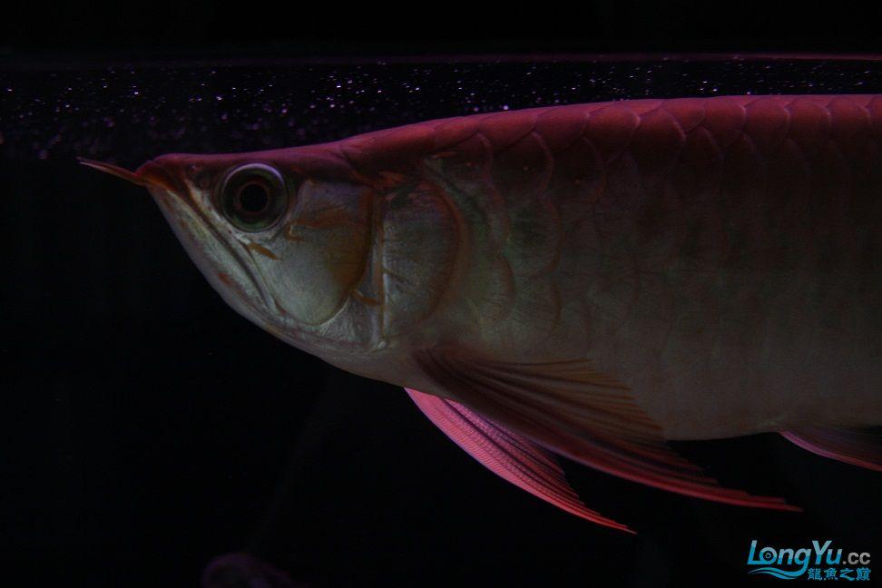 发一下自己养的鱼请高手批一下 绵阳龙鱼论坛 绵阳水族批发市场第1张
