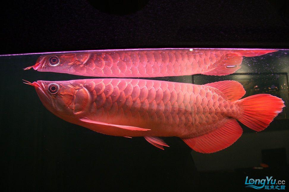 发一下自己养的鱼请高手批一下 绵阳龙鱼论坛 绵阳水族批发市场第5张