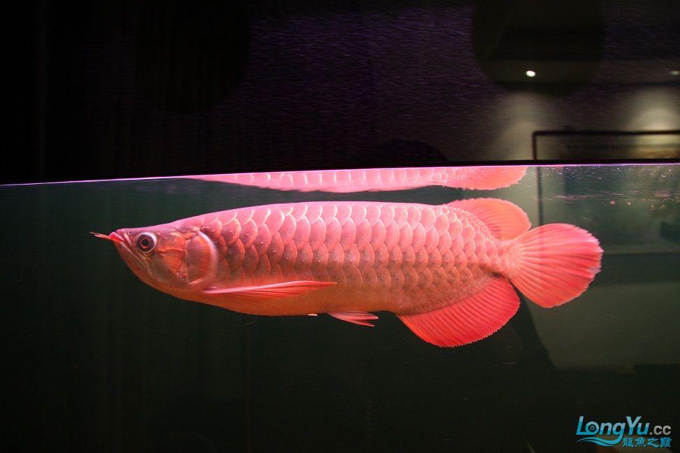 发一下自己养的鱼请高手批一下 绵阳龙鱼论坛 绵阳水族批发市场第6张