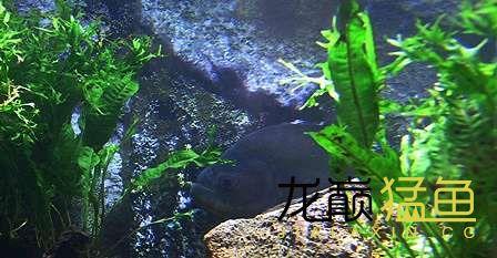 绵阳龙鱼不仔细看还以为是石头呢 绵阳水族批发市场 绵阳水族批发市场第1张