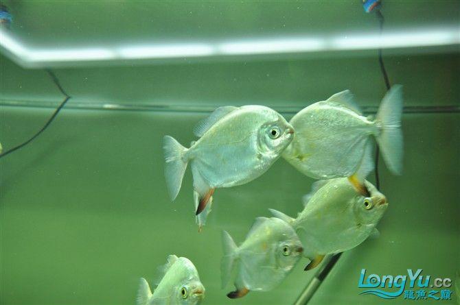龙缸里的小伙伴们 绵阳龙鱼论坛 绵阳水族批发市场第4张
