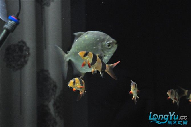 龙缸里的小伙伴们 绵阳龙鱼论坛 绵阳水族批发市场第12张