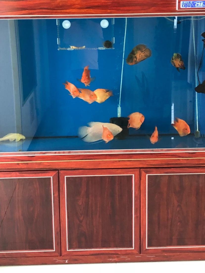 我鱼掉色了怎么回事掉色3个月了 绵阳龙鱼论坛 绵阳水族批发市场第4张