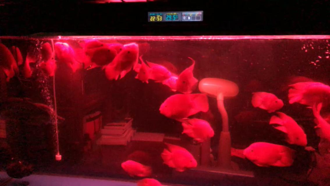 一年多的鹦鹉鹦鹉鱼 绵阳龙鱼论坛