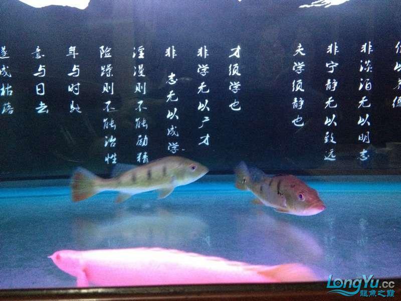 为小龙添加两个小伙伴 绵阳龙鱼论坛 绵阳水族批发市场第5张