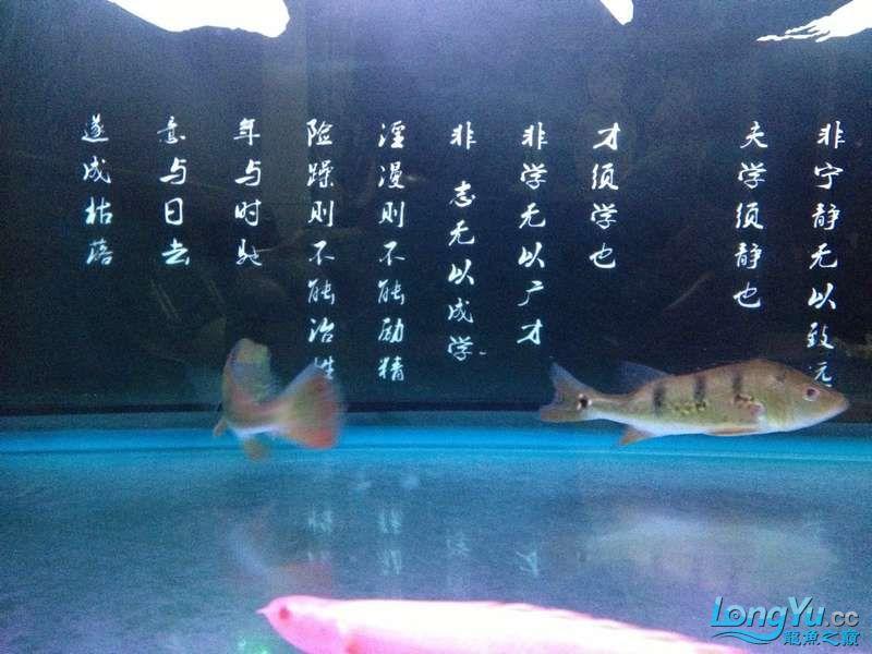 为小龙添加两个小伙伴 绵阳龙鱼论坛 绵阳水族批发市场第4张