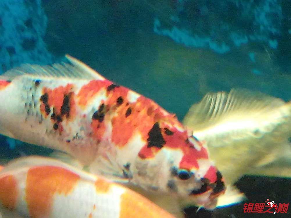 各位大神帮看看着鱼怎么了? 绵阳龙鱼论坛 绵阳水族批发市场第2张