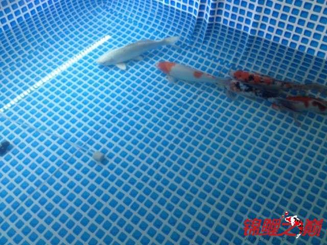 新买的鱼池绵阳鱼缸批发市场新买的鱼 绵阳水族批发市场 绵阳水族批发市场第13张