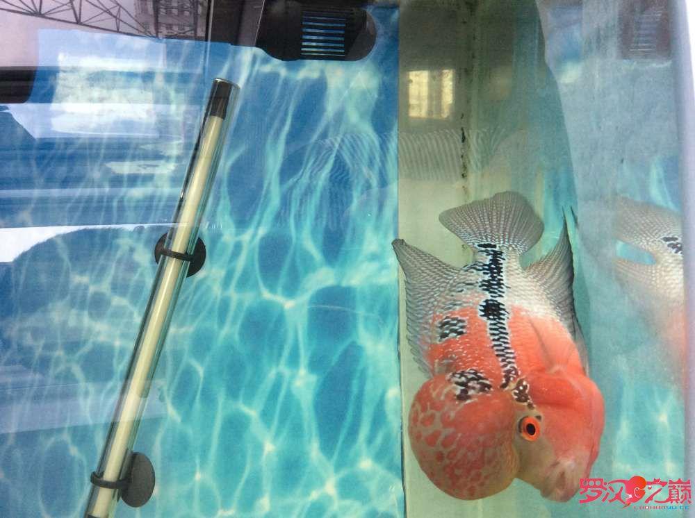 看看這魚几個月大?怎麼樣? 绵阳龙鱼论坛 绵阳水族批发市场第3张
