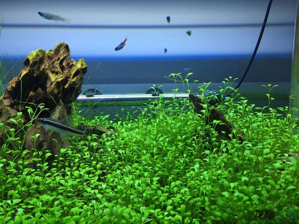 绵阳观赏鱼开缸2个月矮珍珠怎么不爬地呀? 绵阳水族批发市场 绵阳水族批发市场第5张
