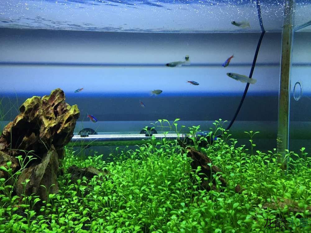 绵阳观赏鱼开缸2个月矮珍珠怎么不爬地呀? 绵阳水族批发市场 绵阳水族批发市场第6张