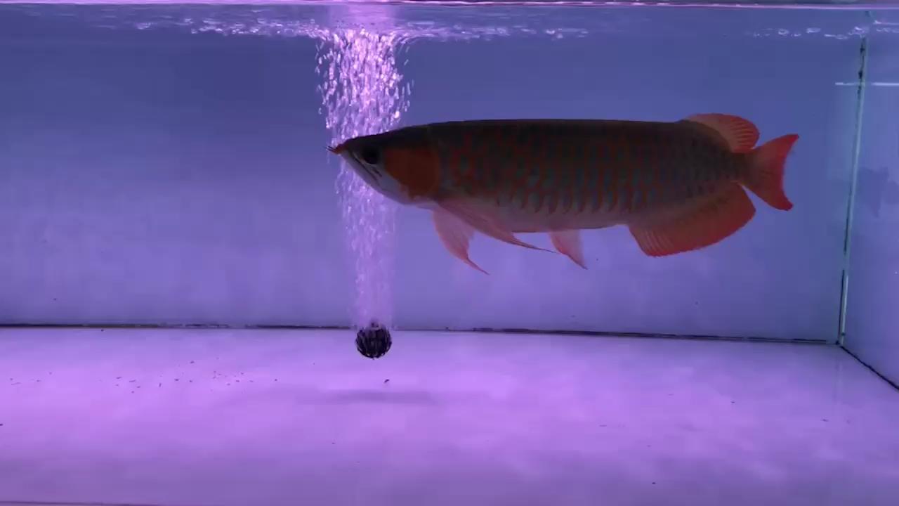 特里斯红外线万吉红龙 绵阳龙鱼论坛