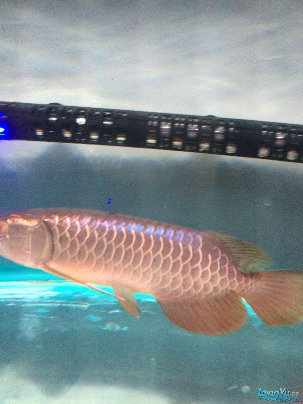这是什么品质的金龙鱼???? 绵阳水族批发市场 绵阳水族批发市场第1张