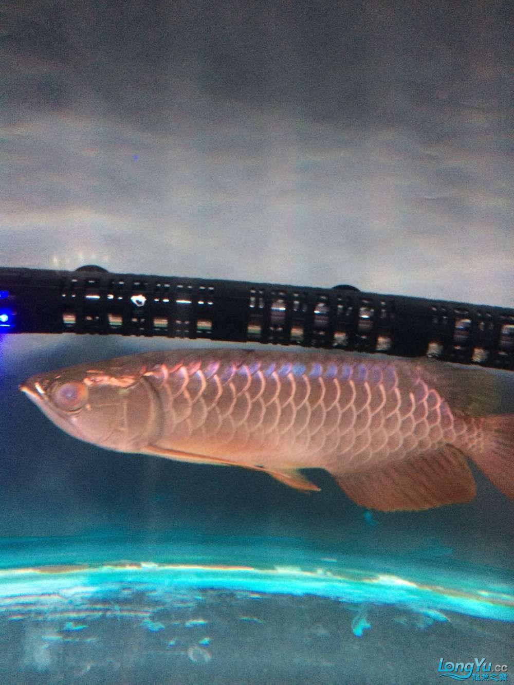 这是什么品质的金龙鱼???? 绵阳水族批发市场 绵阳水族批发市场第2张