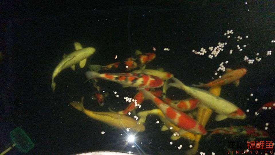 晚上没事干喂喂鱼五点半天就黑了 绵阳龙鱼论坛 绵阳水族批发市场第4张