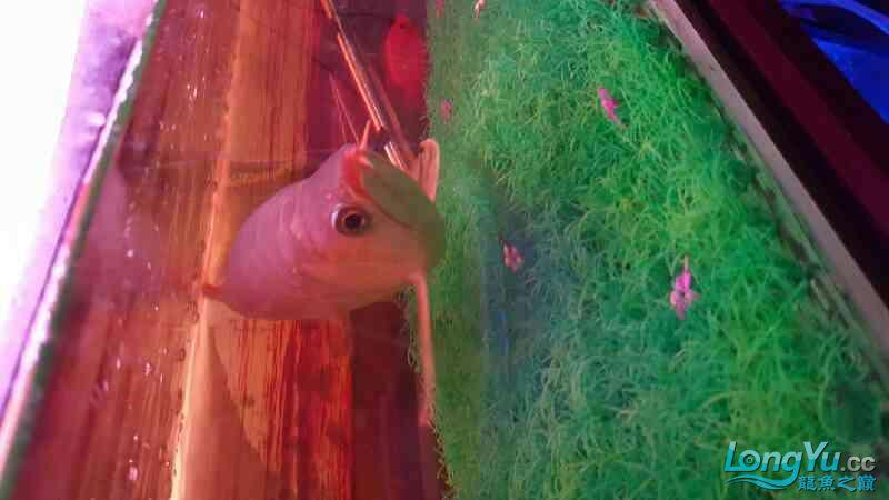 这是红龙吗?是什么红龙? 绵阳龙鱼论坛 绵阳水族批发市场第3张