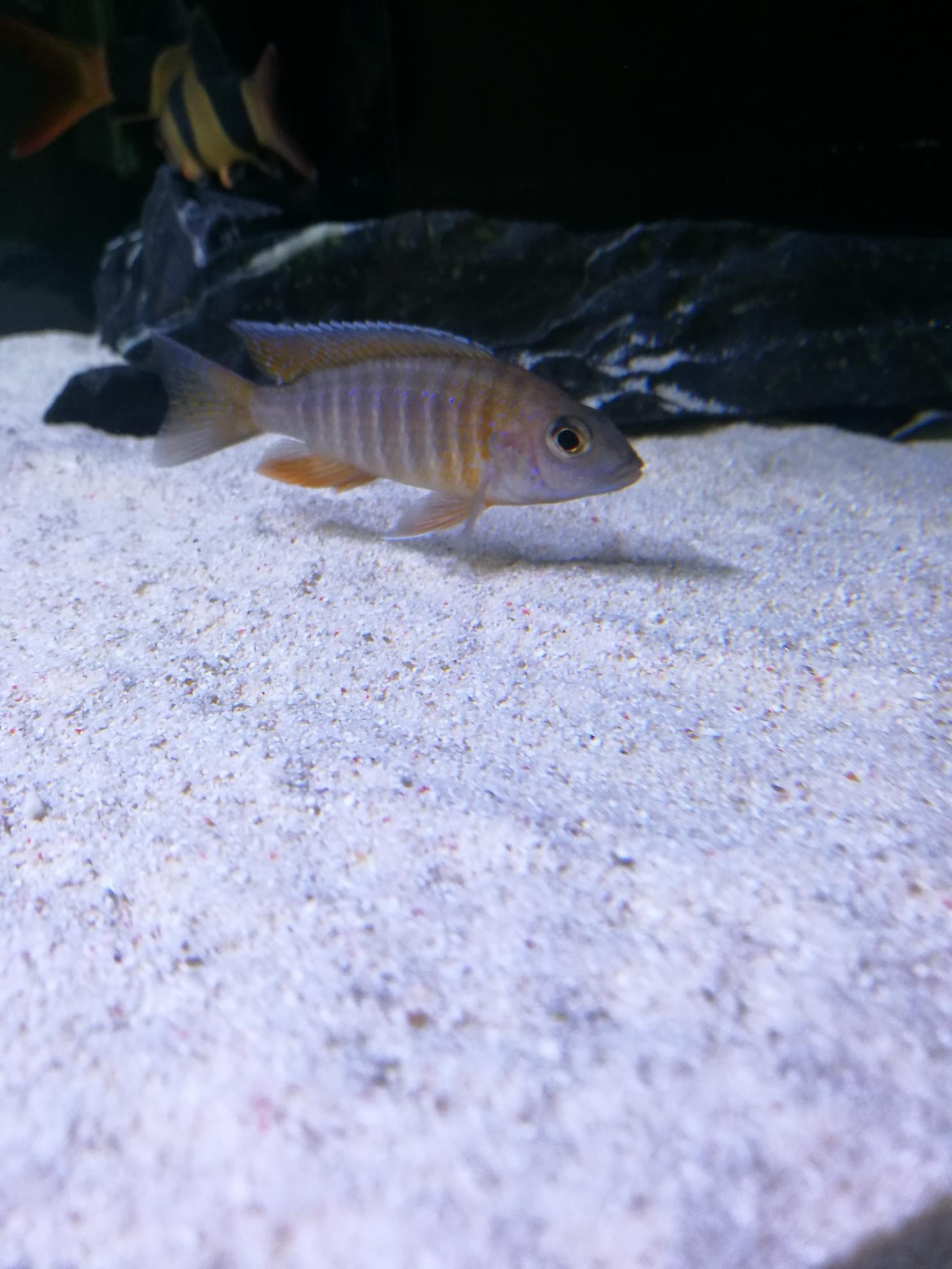 红珊瑚成长记三湖慈鲷 绵阳水族批发市场 绵阳水族批发市场第2张