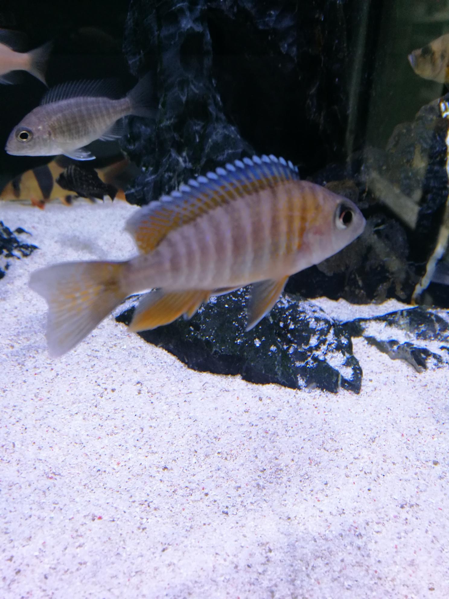 红珊瑚成长记三湖慈鲷 绵阳水族批发市场 绵阳水族批发市场第12张