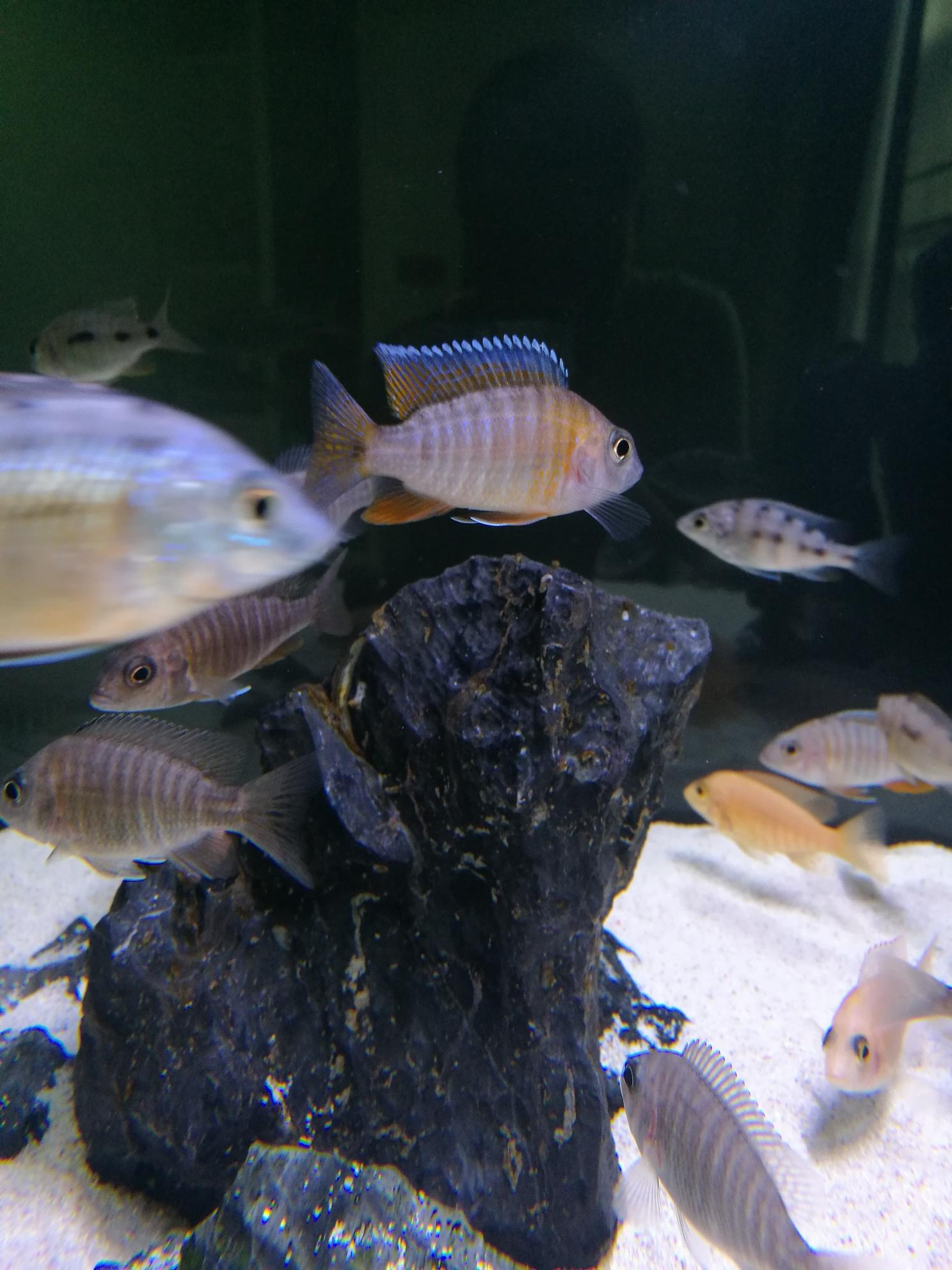 红珊瑚成长记三湖慈鲷 绵阳水族批发市场 绵阳水族批发市场第13张