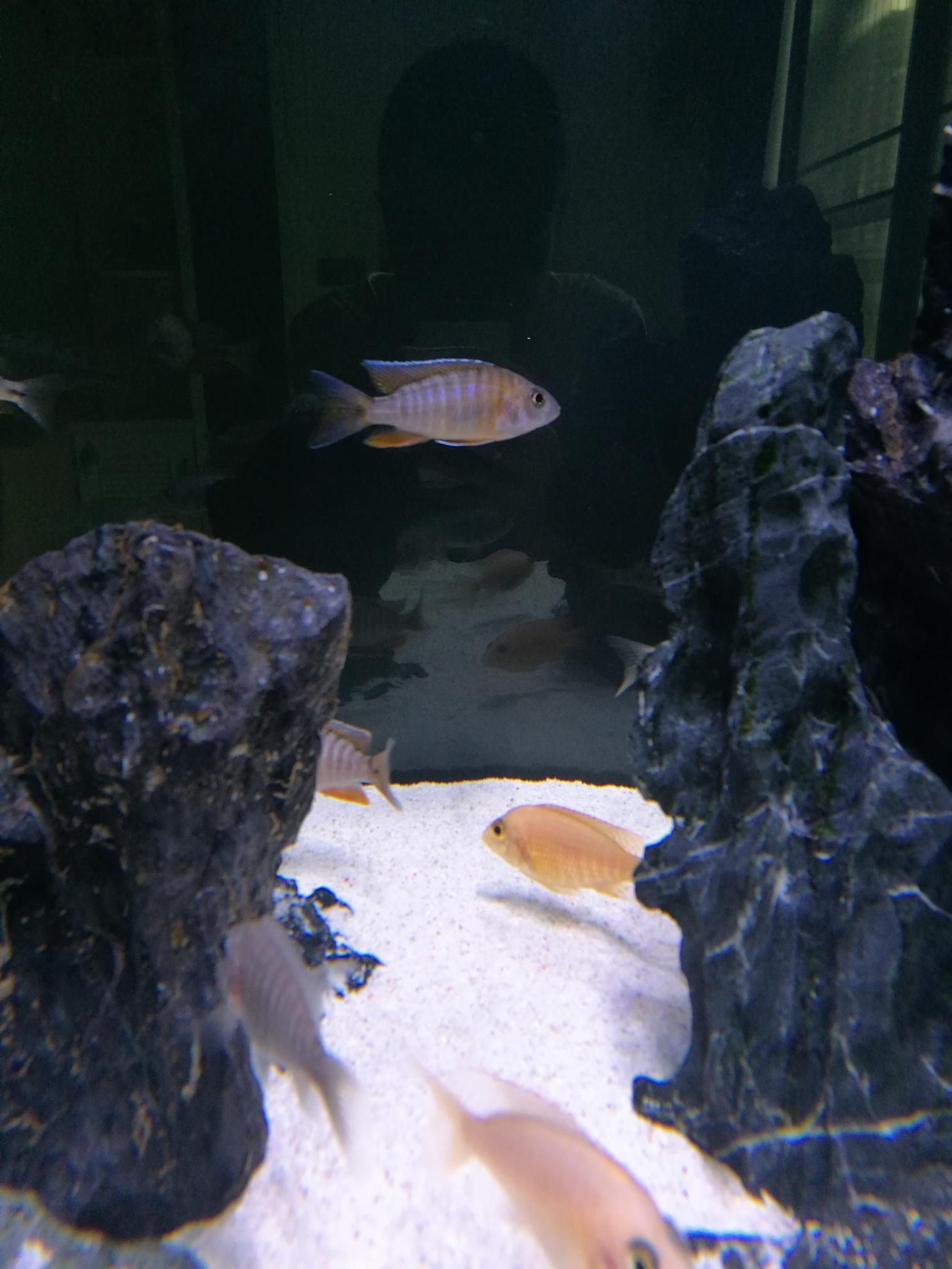 红珊瑚成长记三湖慈鲷 绵阳水族批发市场 绵阳水族批发市场第14张