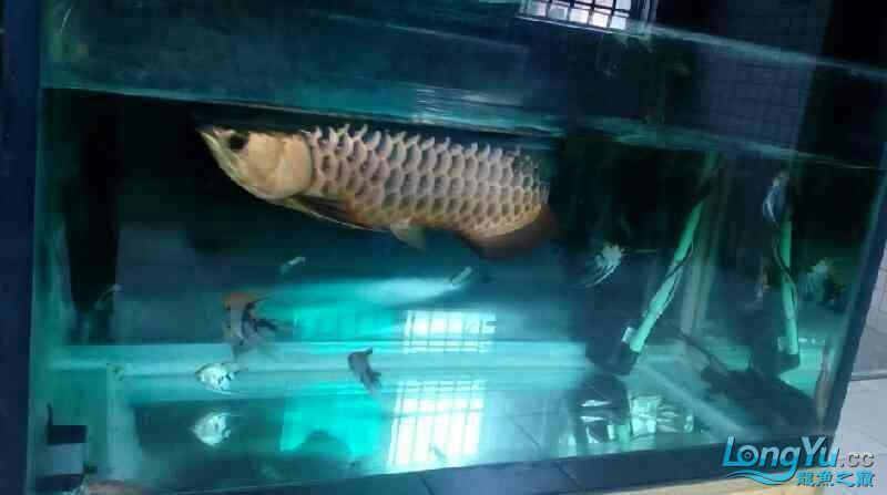 [赴净之美鱼净之约]爰鱼在顺德 绵阳龙鱼论坛 绵阳水族批发市场第1张