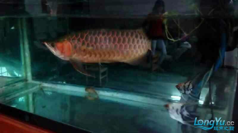 [赴净之美鱼净之约]爰鱼在顺德 绵阳龙鱼论坛 绵阳水族批发市场第9张
