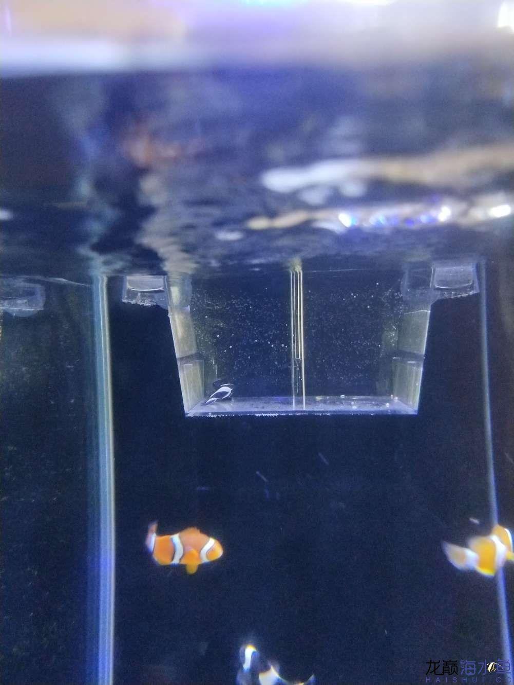 急各位大神帮看看小丑鱼是怎么了鱼鳃还在动就是这样 绵阳龙鱼论坛 绵阳水族批发市场第4张
