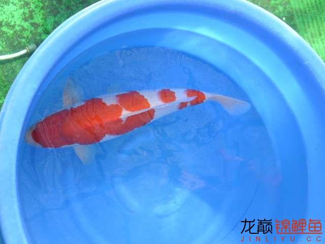 极品红白锦鲤买不起绵阳鱼缸价格