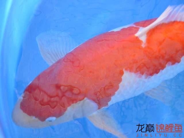 极品红白锦鲤买不起绵阳鱼缸价格 绵阳龙鱼论坛 绵阳水族批发市场第2张