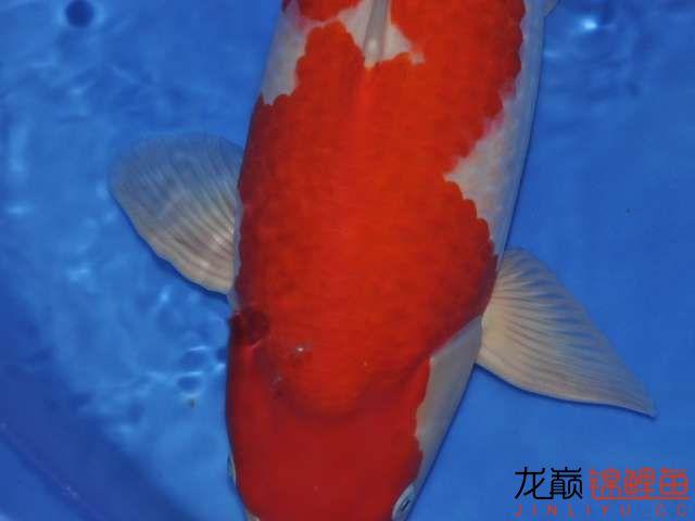 极品红白锦鲤买不起绵阳鱼缸价格 绵阳龙鱼论坛 绵阳水族批发市场第3张