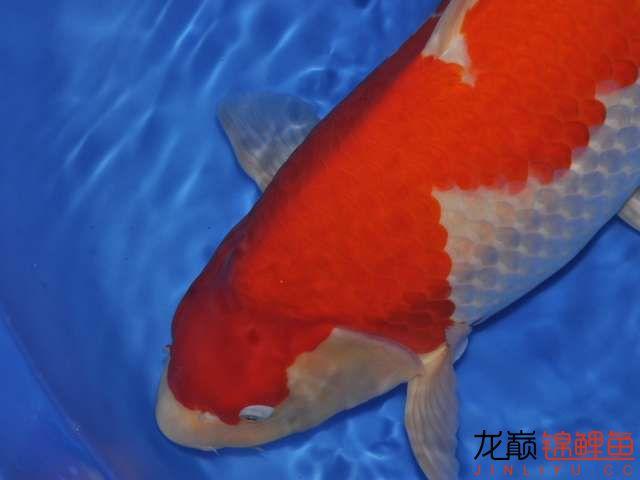 极品红白锦鲤买不起绵阳鱼缸价格 绵阳龙鱼论坛 绵阳水族批发市场第5张
