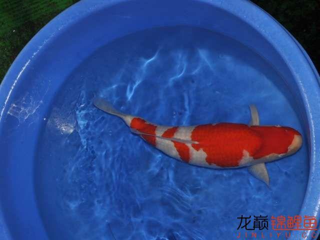 极品红白锦鲤买不起绵阳鱼缸价格 绵阳龙鱼论坛 绵阳水族批发市场第10张