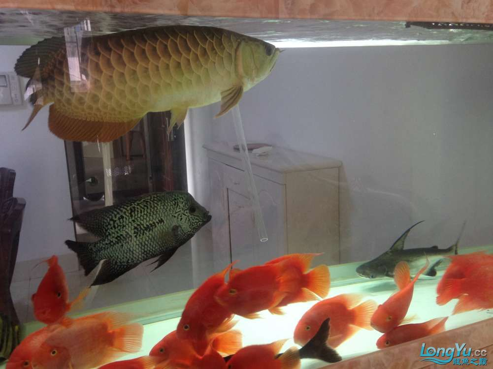 看看我的混养嘿嘿虽然也都是低端的鱼 绵阳水族批发市场 绵阳水族批发市场第6张