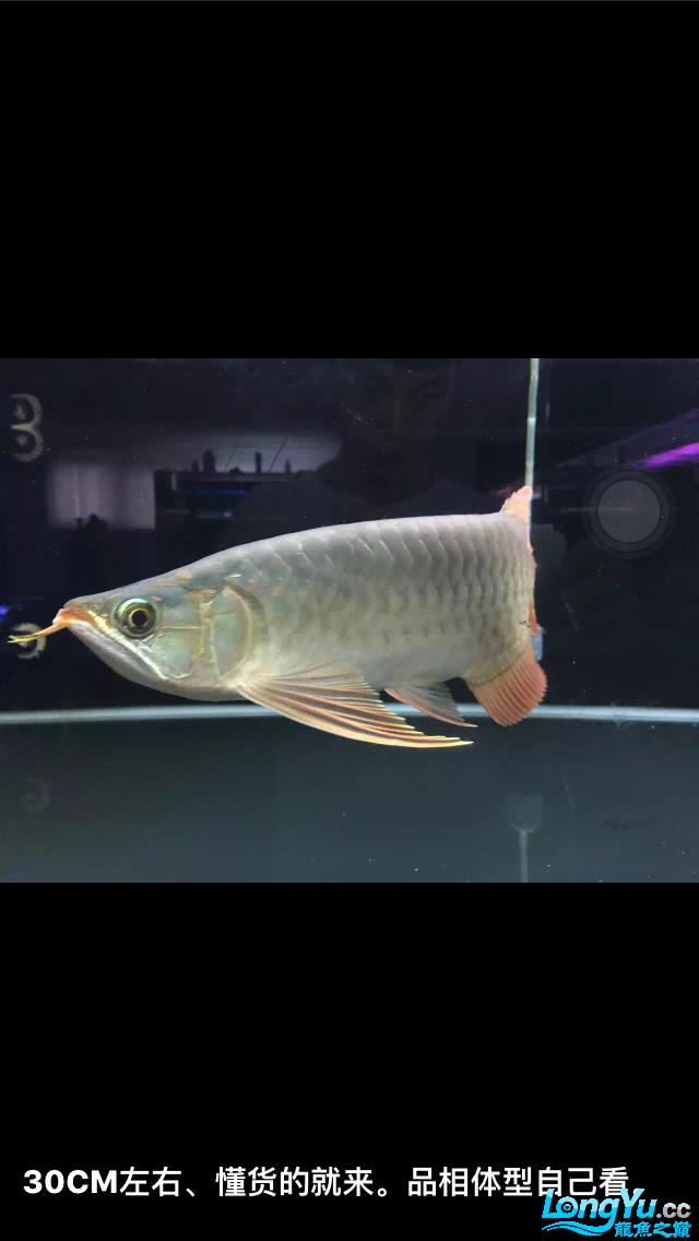 请高人指点这是什么龙 三十公分了 这鱼能发色吗 谢谢 绵阳龙鱼论坛 绵阳水族批发市场第2张
