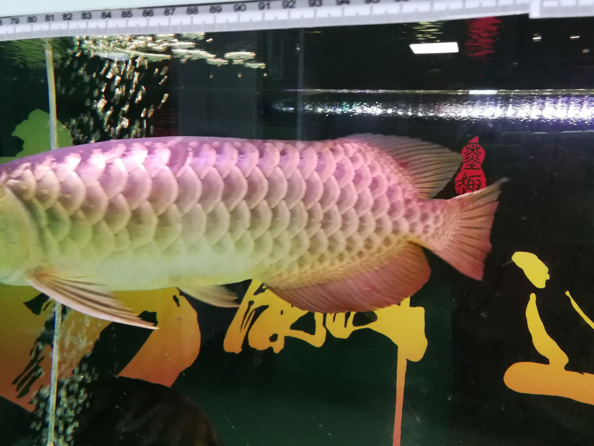 请问龙鱼这是什么病如何处理 绵阳龙鱼论坛 绵阳水族批发市场第1张