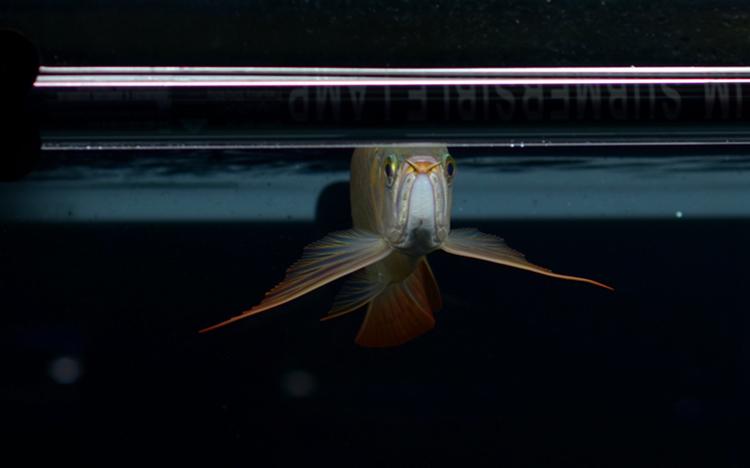 绵阳热带鱼滑翔机