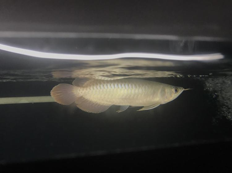 22公分的小红龙 绵阳龙鱼论坛 绵阳水族批发市场第2张
