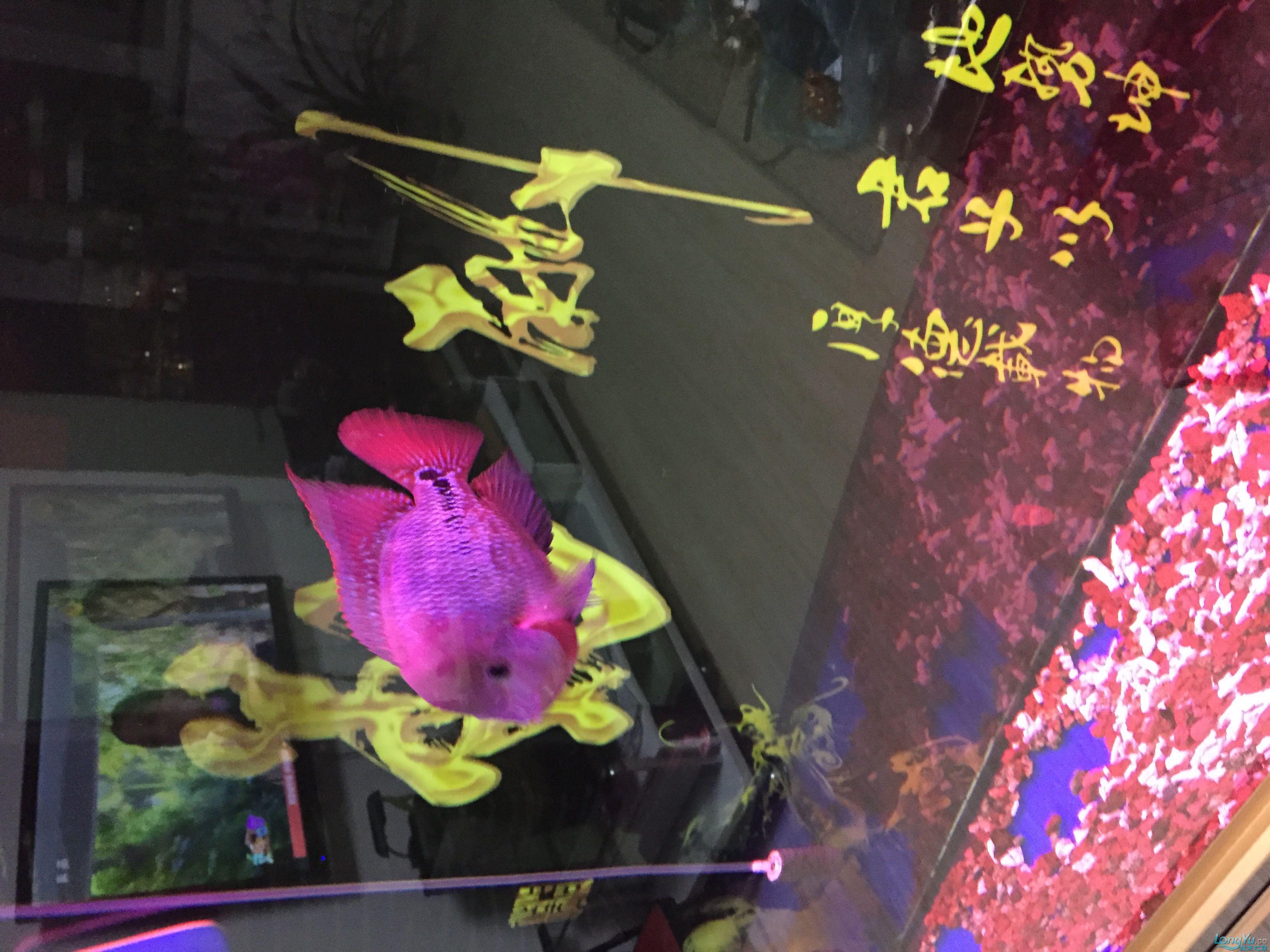绵阳鱼市在哪小彩虹 换大缸了 期待爆头 绵阳龙鱼论坛 绵阳水族批发市场第3张