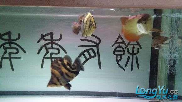 现场有多少位跟我一样坐在鱼缸前赏鱼的 绵阳龙鱼论坛 绵阳水族批发市场第6张