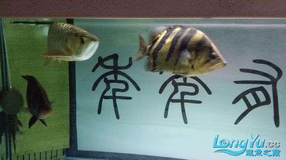 现场有多少位跟我一样坐在鱼缸前赏鱼的 绵阳龙鱼论坛 绵阳水族批发市场第9张