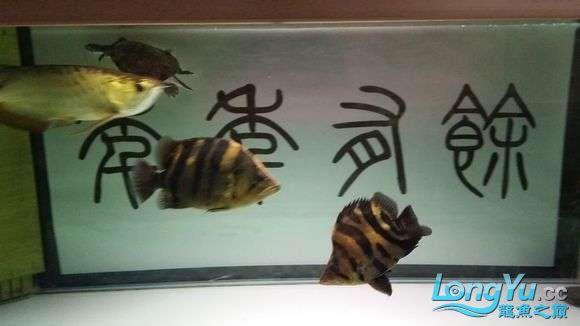 现场有多少位跟我一样坐在鱼缸前赏鱼的 绵阳龙鱼论坛 绵阳水族批发市场第12张