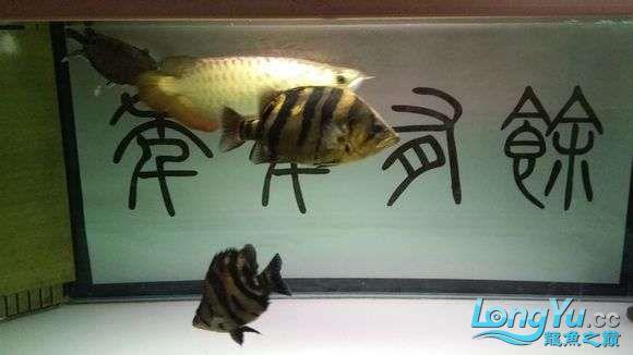 现场有多少位跟我一样坐在鱼缸前赏鱼的 绵阳龙鱼论坛 绵阳水族批发市场第10张