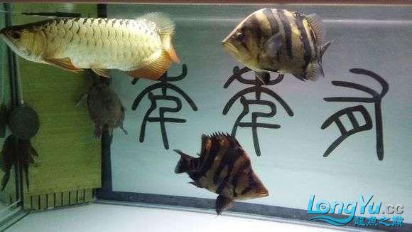 现场有多少位跟我一样坐在鱼缸前赏鱼的 绵阳龙鱼论坛 绵阳水族批发市场第15张