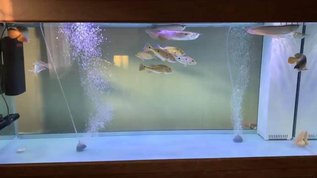 早起喂鱼龙鱼圈 绵阳龙鱼论坛 绵阳水族批发市场第1张