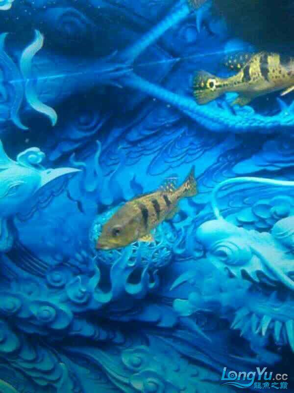 今天刚进的两条巴西亚大伙给看看是不是! 绵阳龙鱼论坛 绵阳水族批发市场第4张