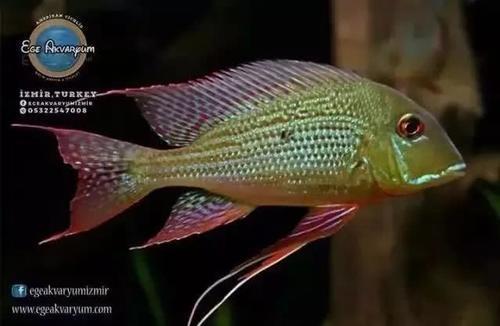 南美水族风格鱼缸7种绝配鱼 绵阳水族批发市场 绵阳水族批发市场第5张