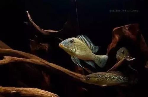 南美水族风格鱼缸7种绝配鱼 绵阳水族批发市场 绵阳水族批发市场第8张