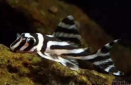 南美水族风格鱼缸7种绝配鱼 绵阳水族批发市场 绵阳水族批发市场第13张