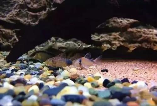 南美水族风格鱼缸7种绝配鱼 绵阳水族批发市场 绵阳水族批发市场第12张